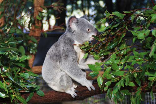 Koala en Lone Pine Koala