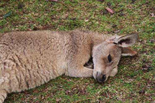 Canguro en Lone Pine Koala
