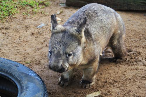Wombat en Lone Pine Koala